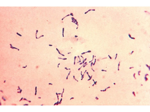 Эволюция Corynebacterium diphtheriae